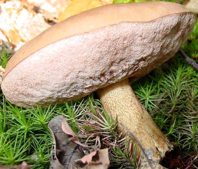 желчный гриб - зрелый