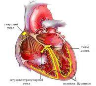 Просто о человеке: непрерывная работа сердца